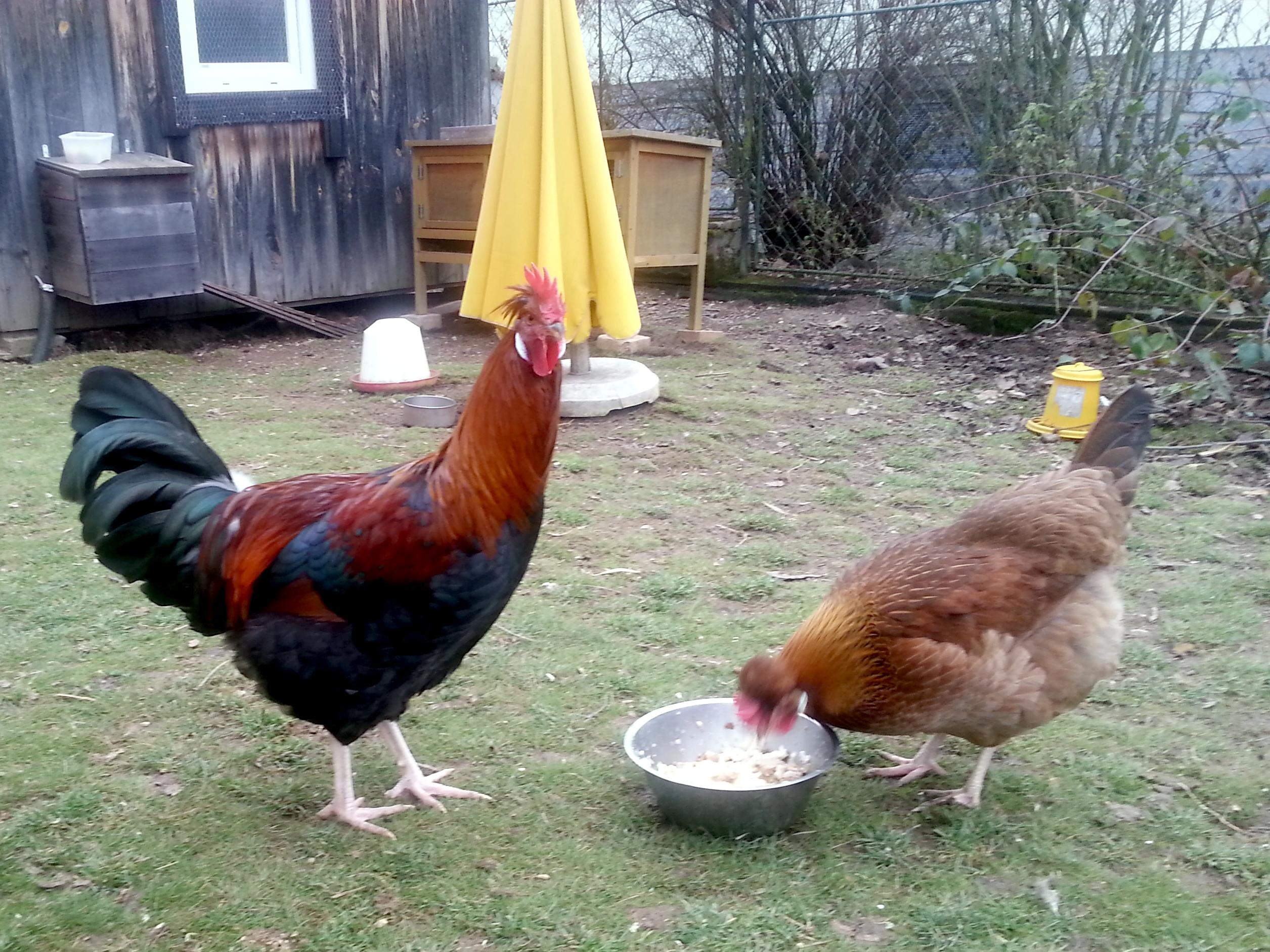 Brauchen wir einen Hahn, oder doch nicht?
