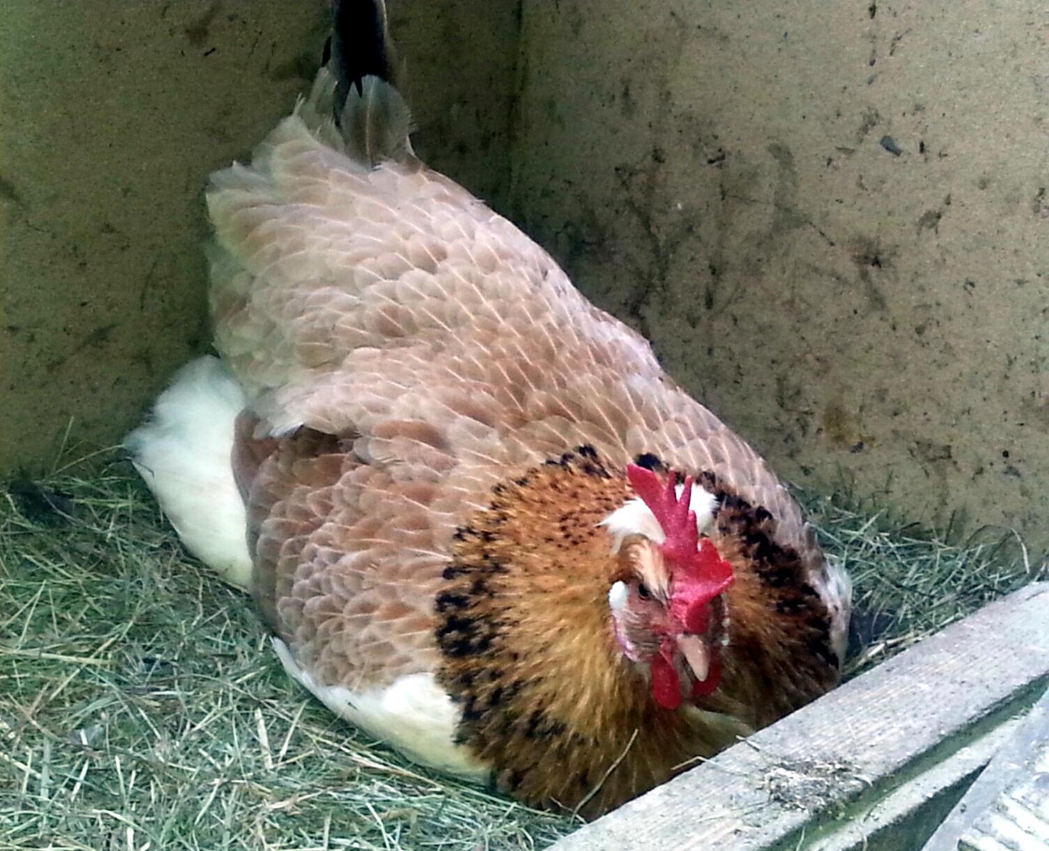 Ernst beim Eierlegen